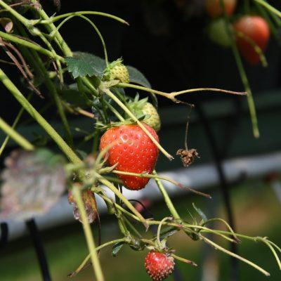 Hoogstraten = aardbeien